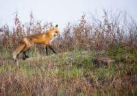 Red Fox Adult Walking